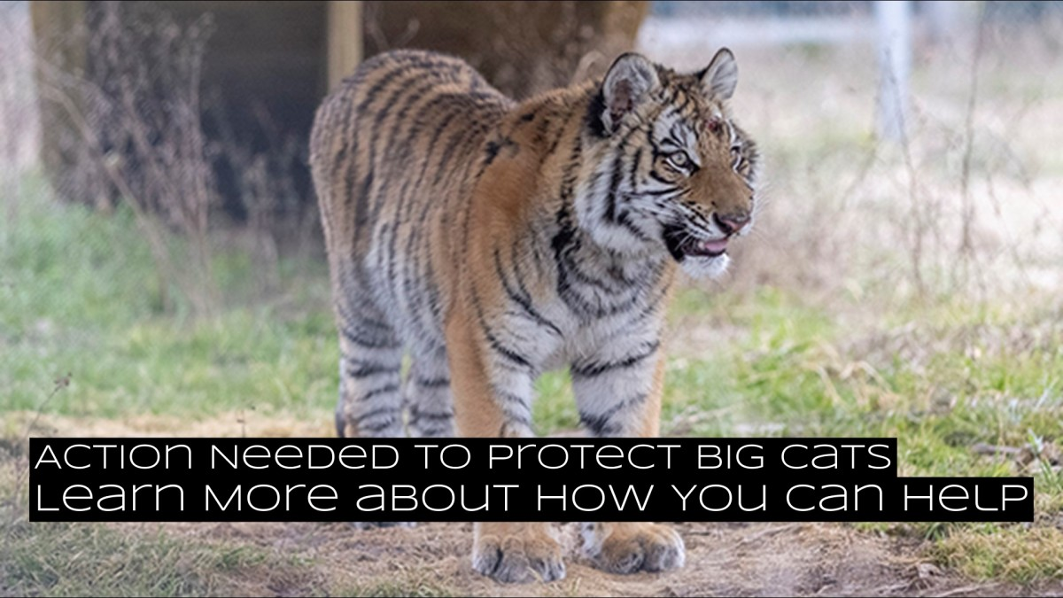 Action Needed to Help Big Cats