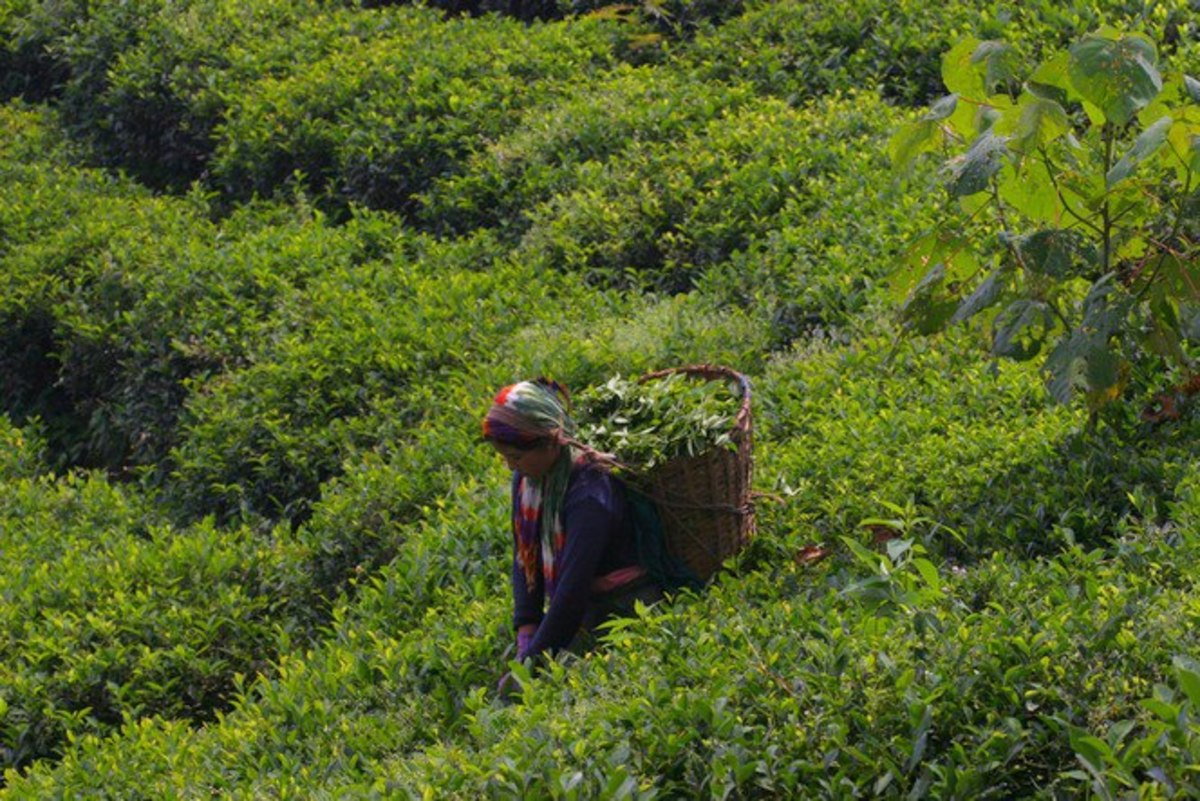 Green Tea Plucking