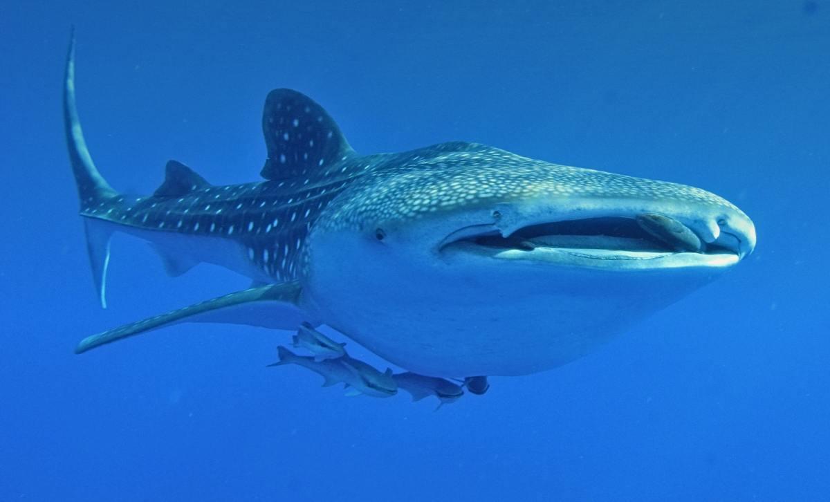 species-of-sharks