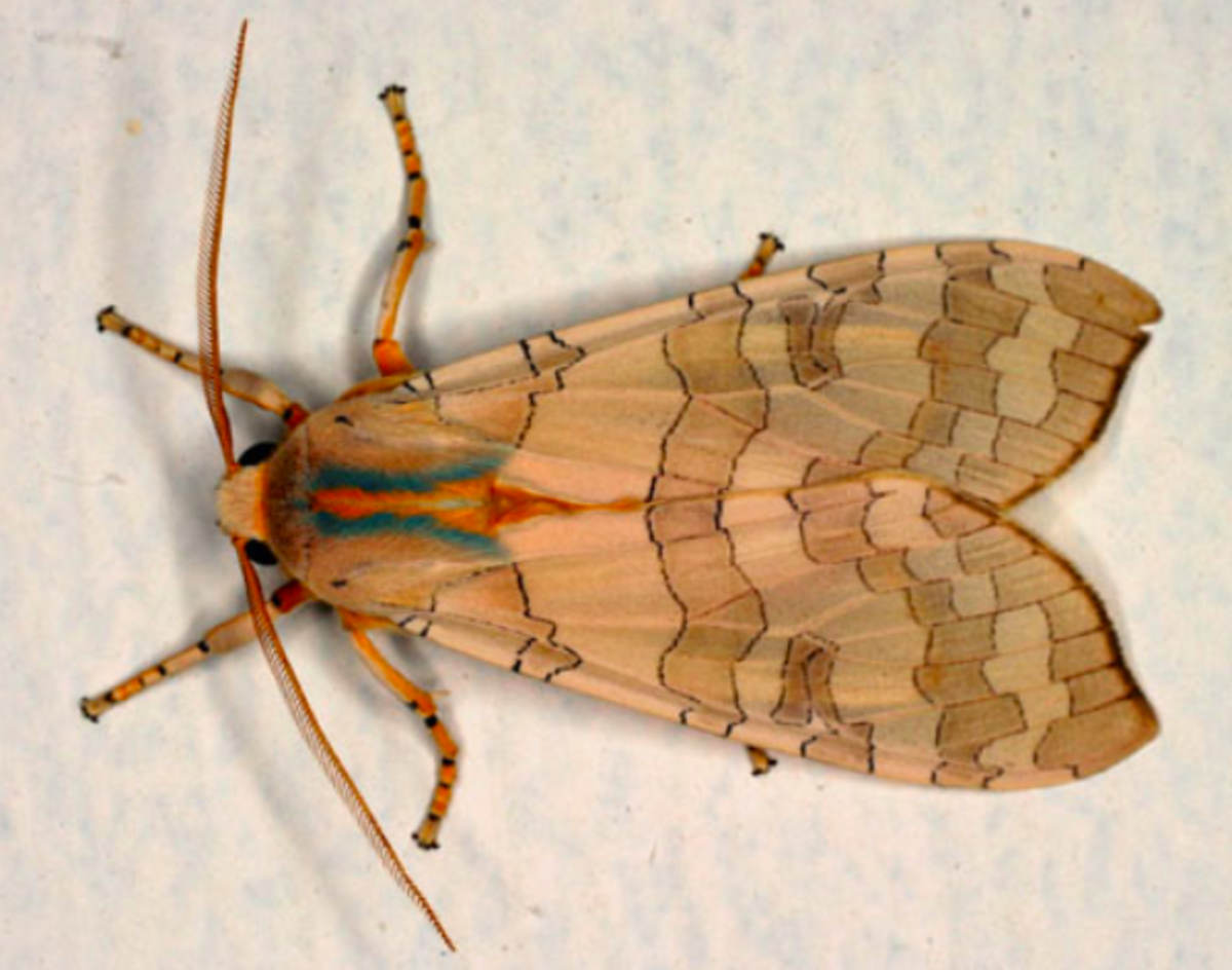 brown-caterpillar-identification