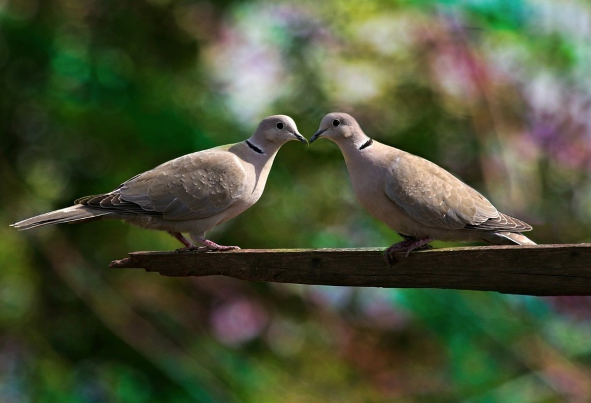 A kiss between two pigeons