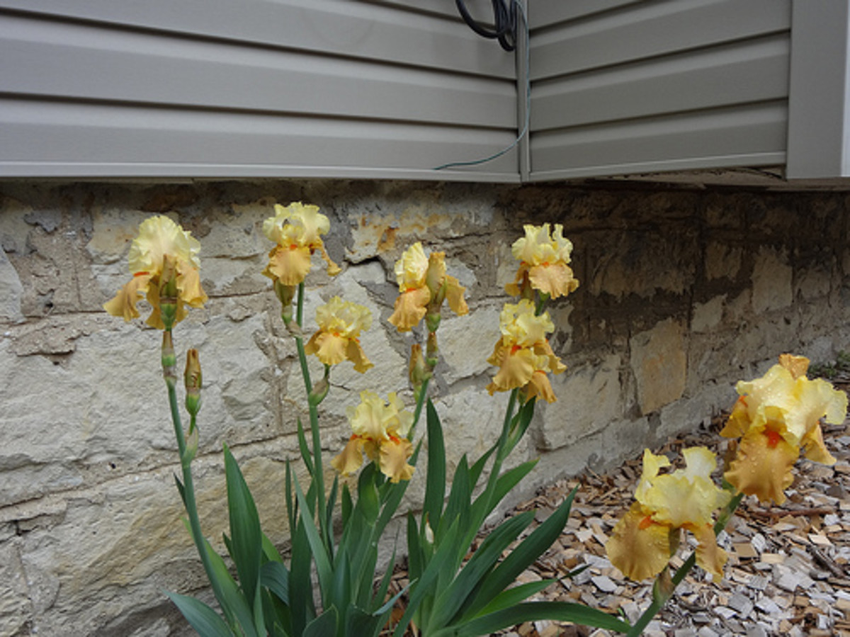 """Spiced Custard"" Bearded Iris"