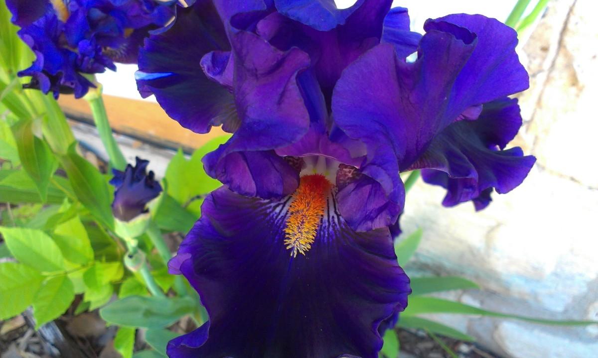 Iris purple batik