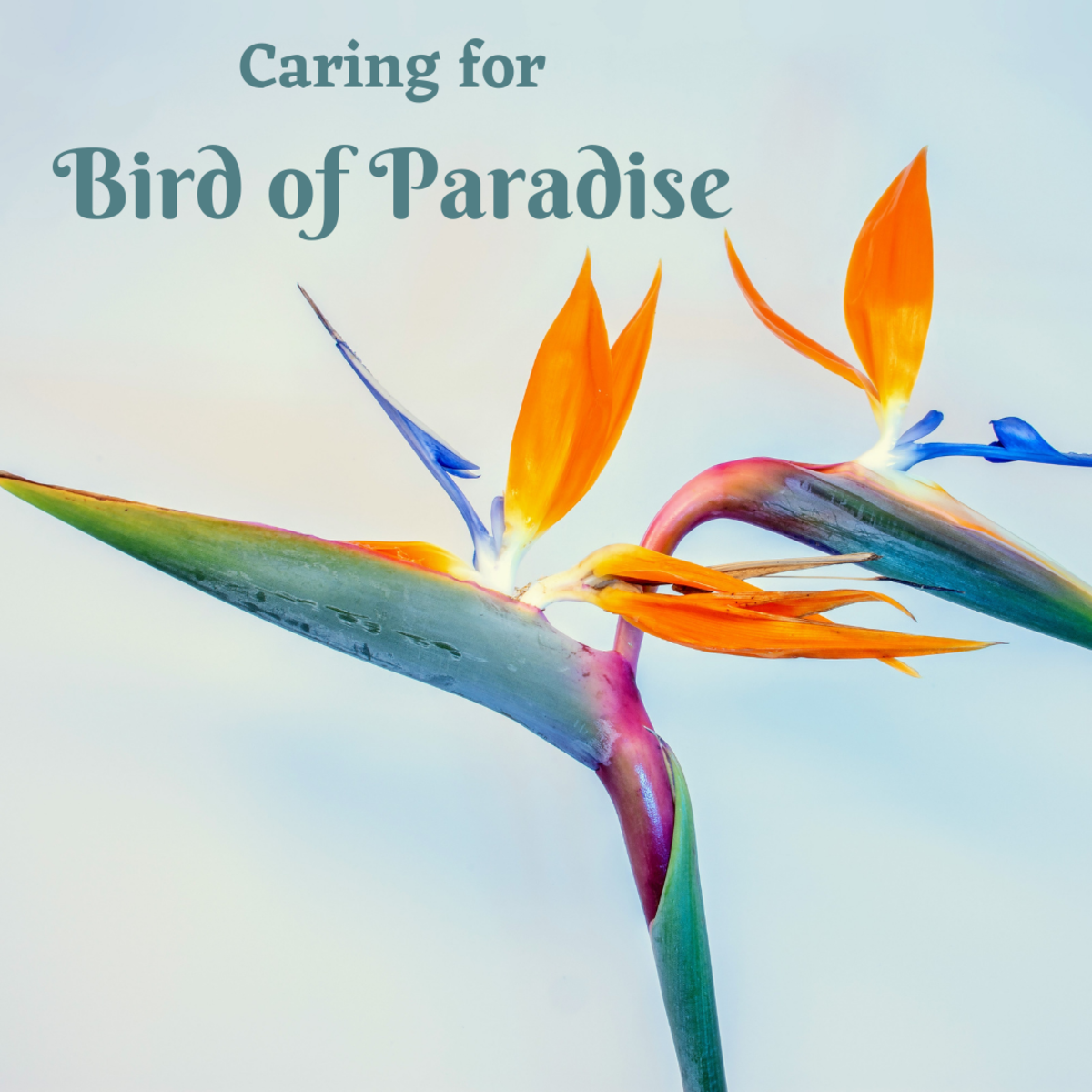 A guide to caring for a Bird of Paradise, also known as Strelitzia