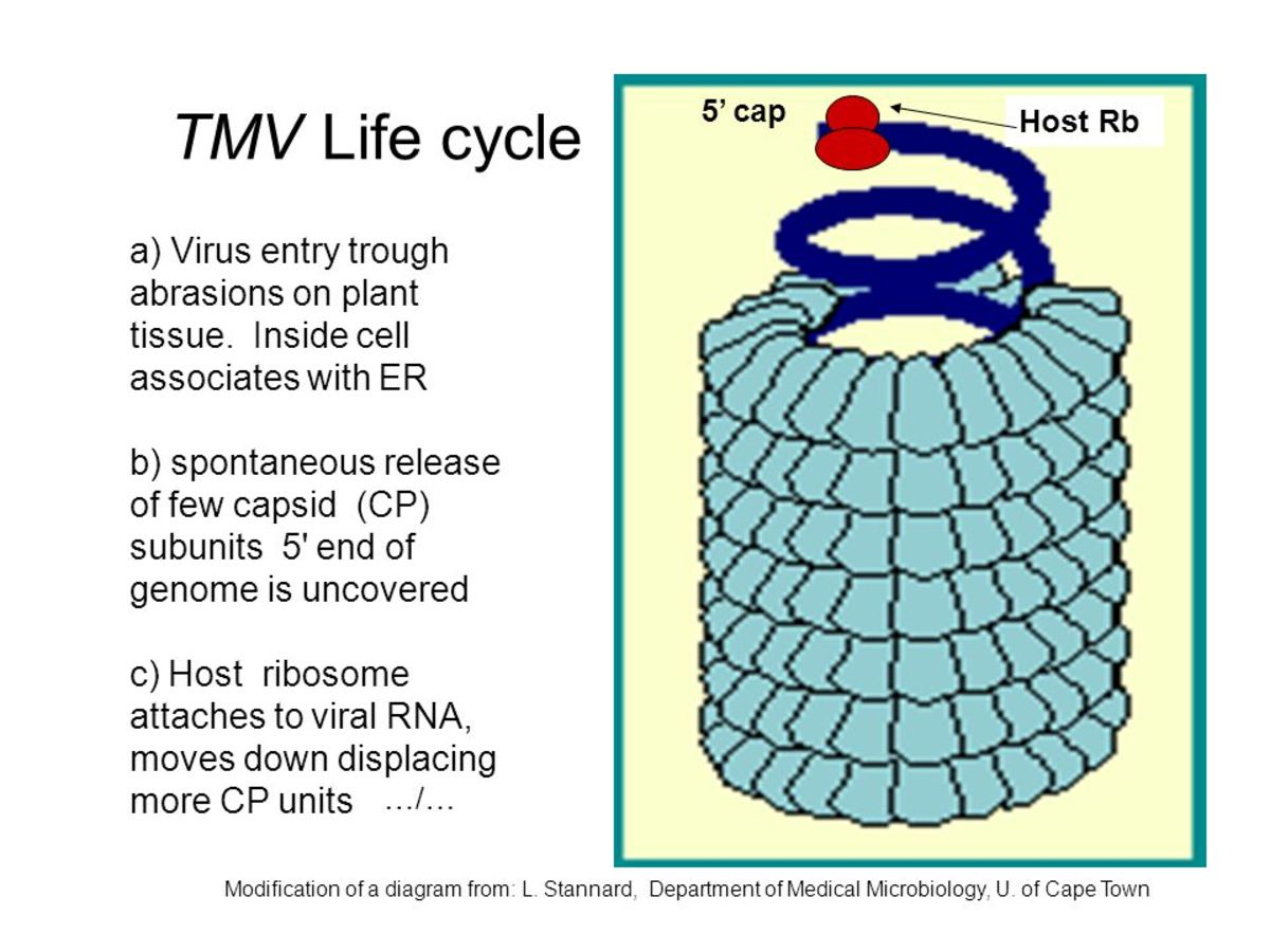The First Virus-Tobacco Mosaic Virus (TMV) | HubPages