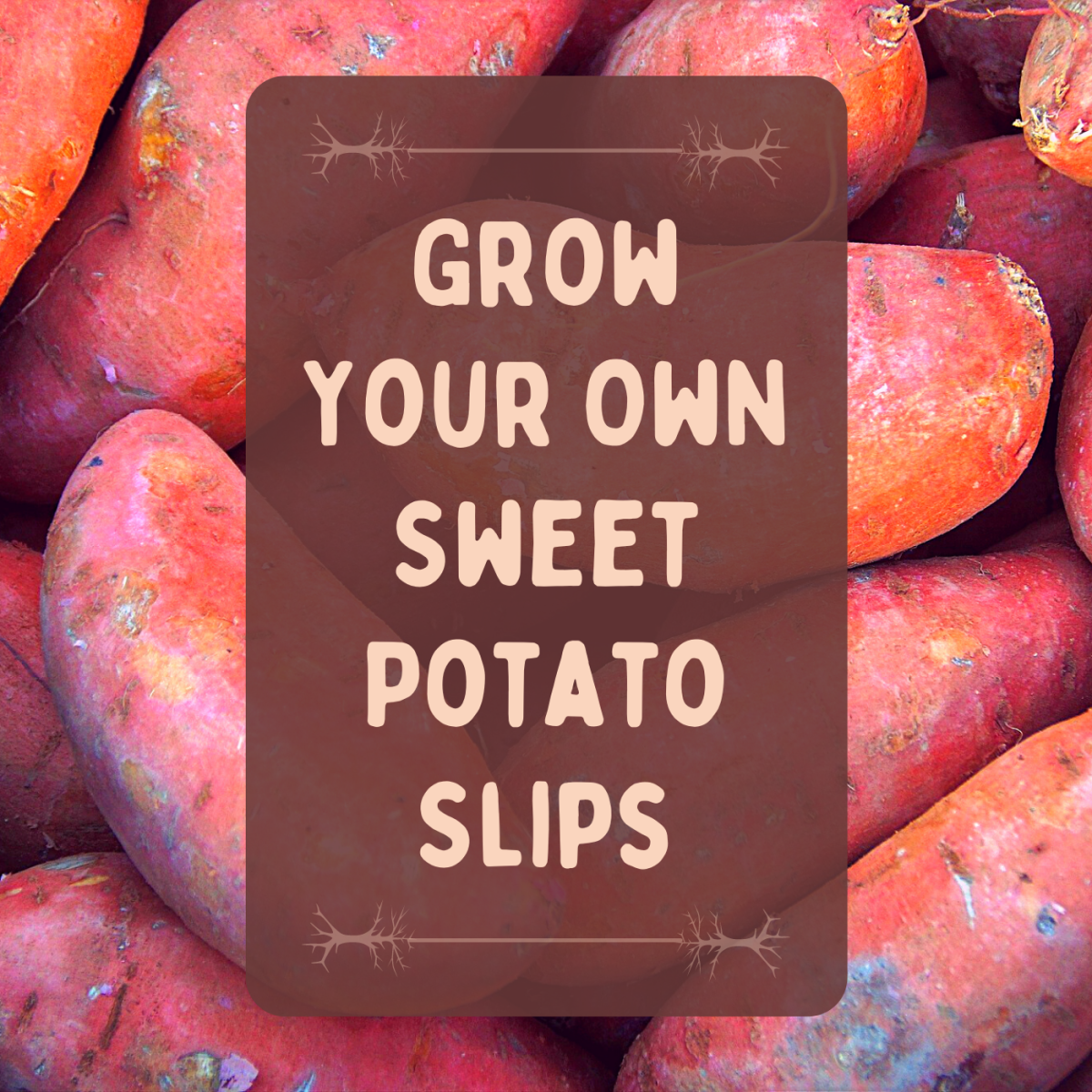 Learn how to grow sweet potatoes from slips you create yourself.
