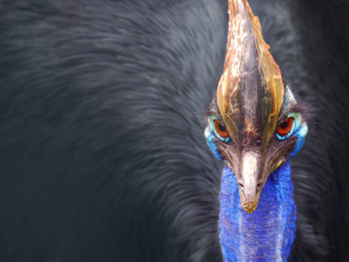 Cassowary, a shy but dangerous flightless bird that lives in the tropical forests of New Guinea, the surrounding islands and northeastern Australia.