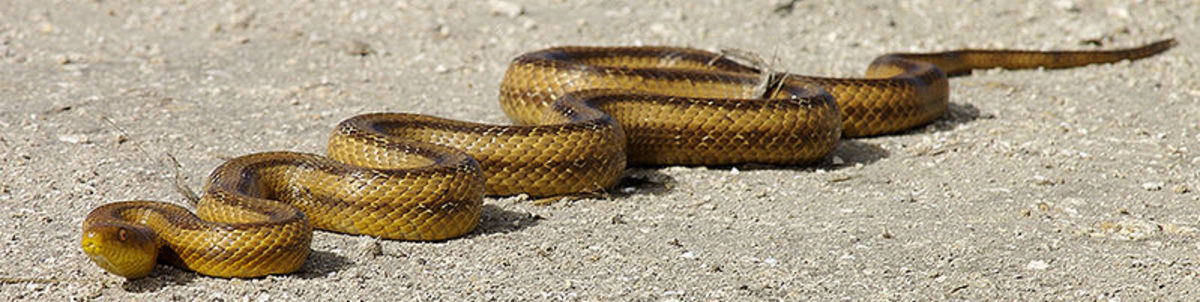 Yellow rat snake. Photo by leppyone. This file is licensed under the Creative Commons Attribution 2.0 Generic license.