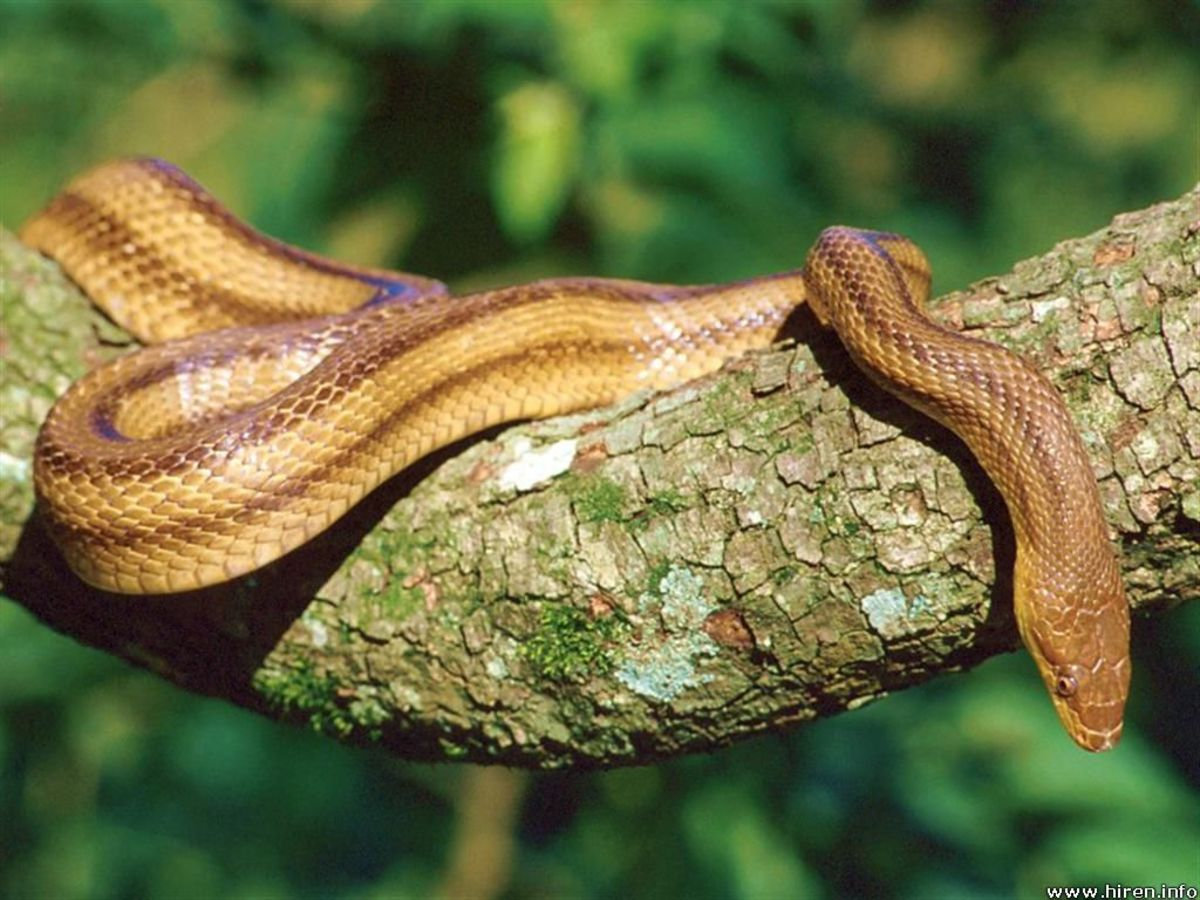 Yellow rat snake.  Public domain.