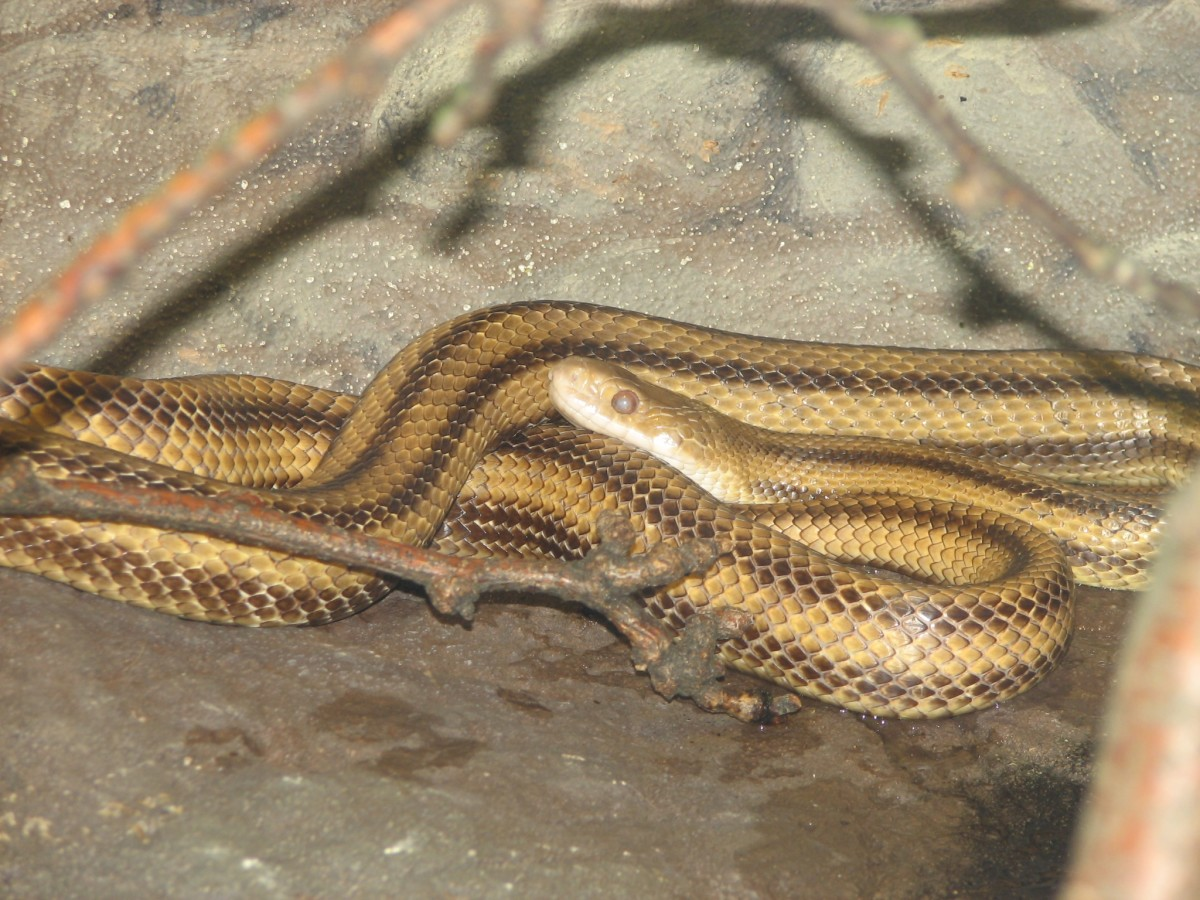 A Hillbilly Guide to Snakes: The Yellow Rat Snake
