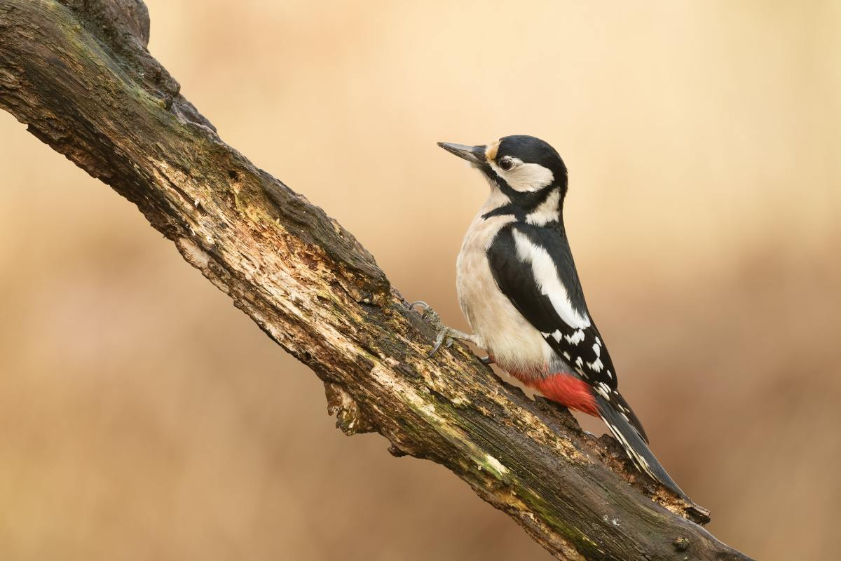 Woodpeckers can be kept off your home.