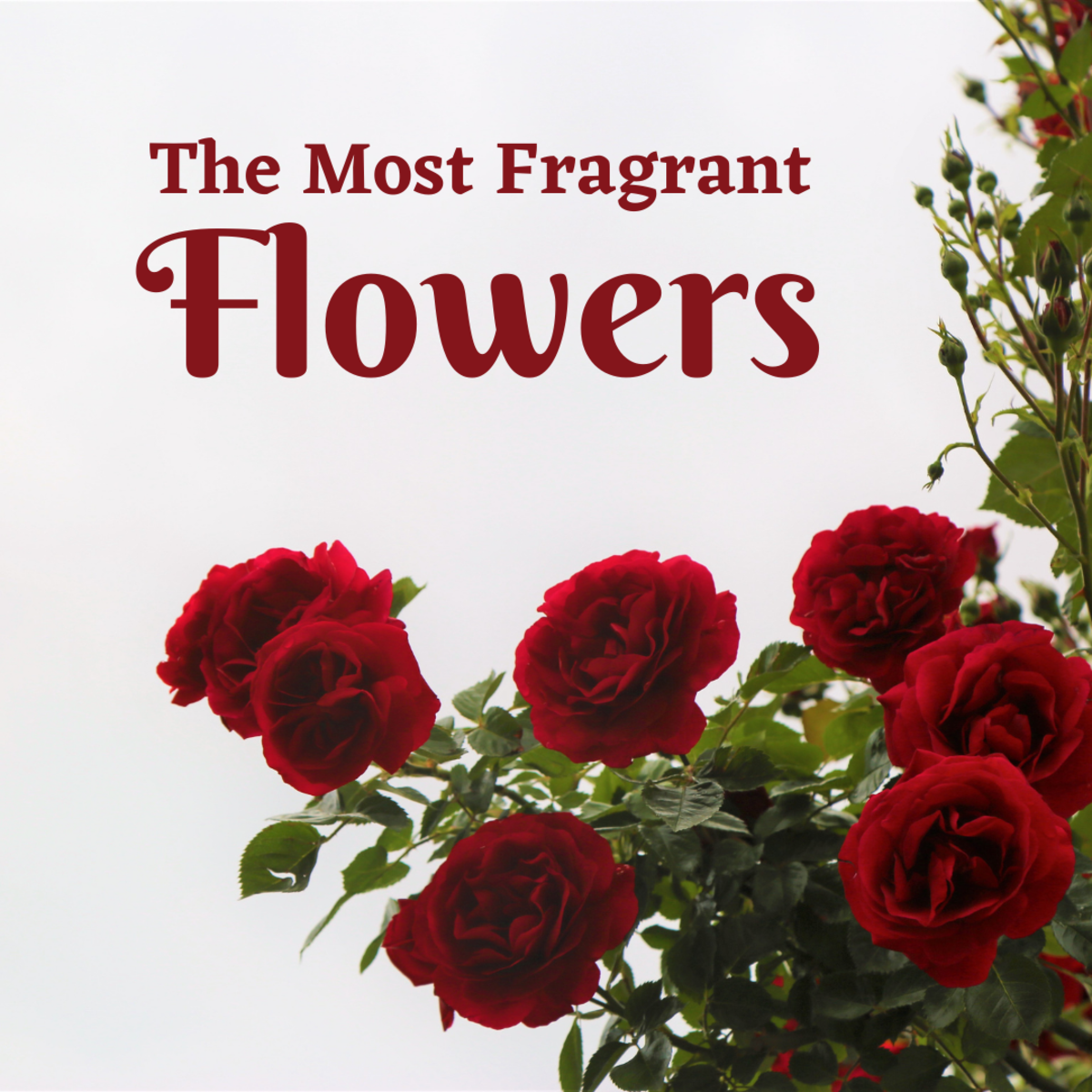 The top 10 most fragrant and aromatic flowers