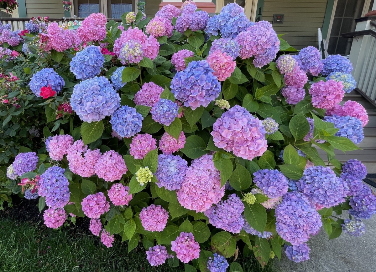 Beautify pink and blue hydrangea plant.