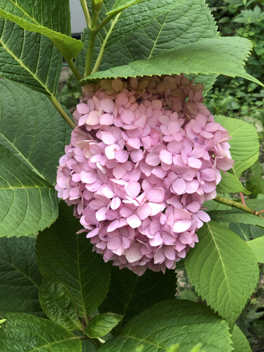 Puffed up pink hydrangea blossoms in the shade.