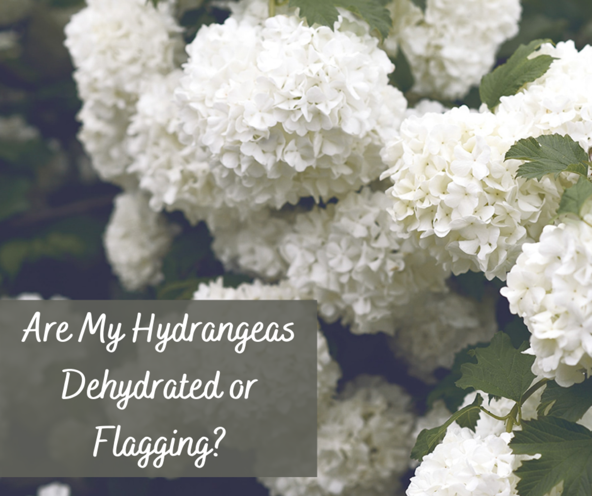 Learn how to determine if your hydrangea needs watering or if it is flagging.