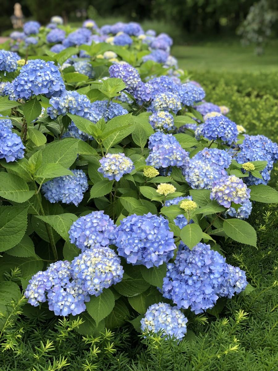 Gorgeous, healthy blue hydrangea plant.