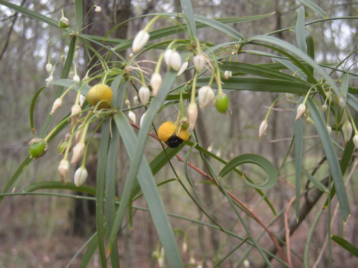 Eustrephus latifolius fruit.