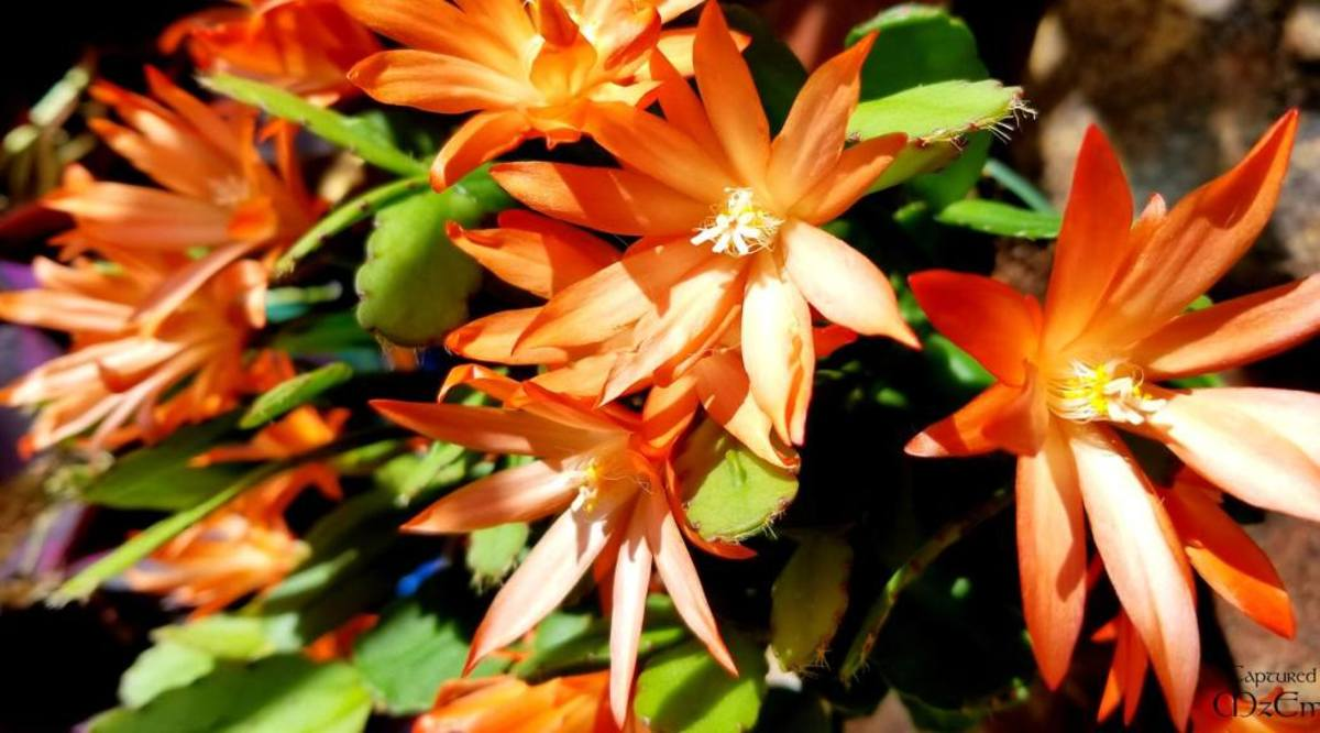 holiday-cactus-tips-and-ideas