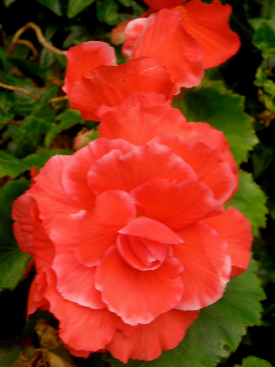 Tuberous begonias' large, showy flowers come in an array of colours--white, orange, yellow, red and magenta.