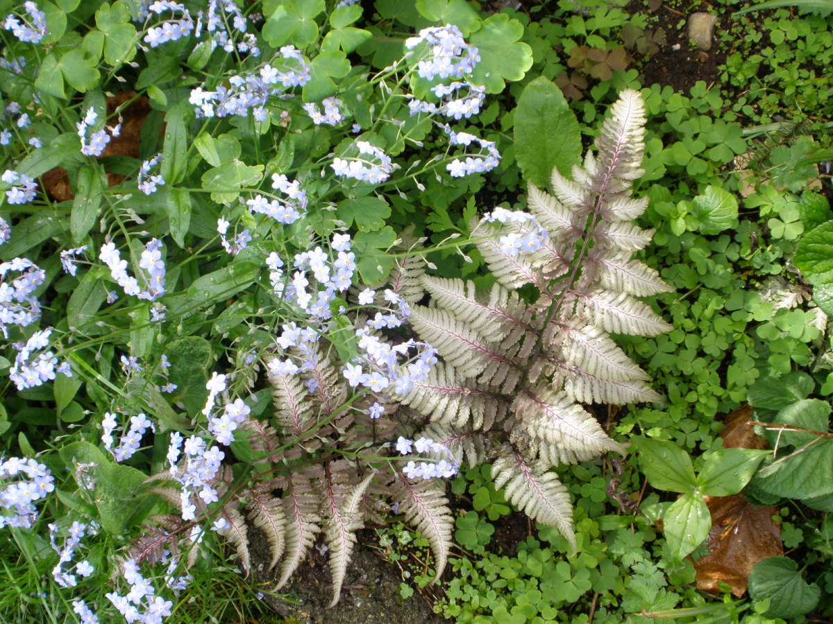 Japanese painted fern, trillium and forget-me-nots in a shaded woodland garden.