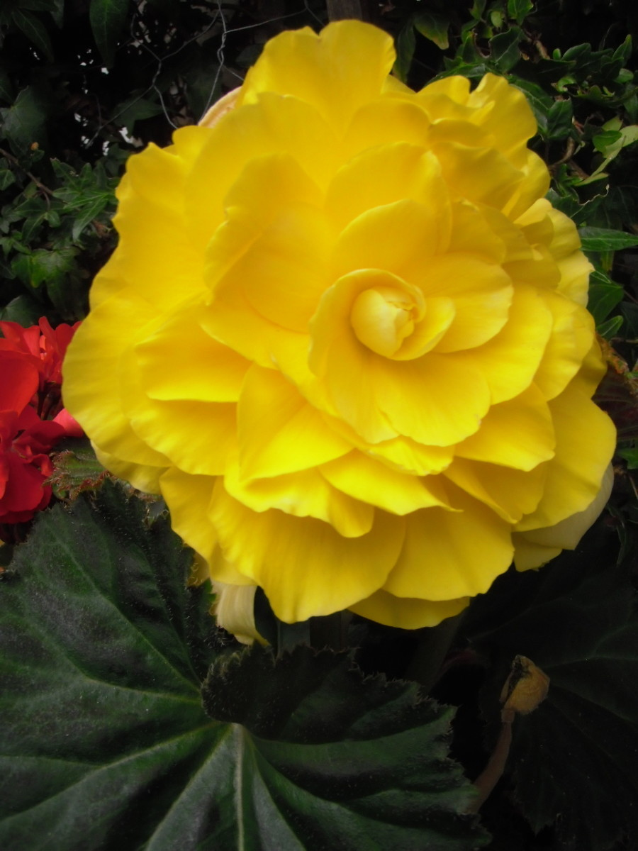 Tuberous begonias thrive in shady, moist soil with some early morning or late afternoon sun.