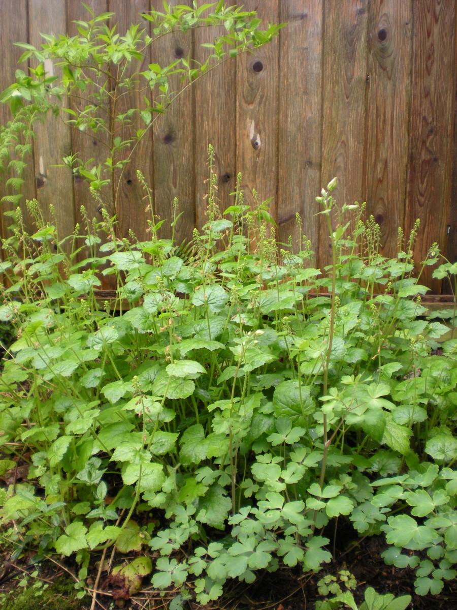 Piggy-back plant, Aquilegia, and Lady-ferns