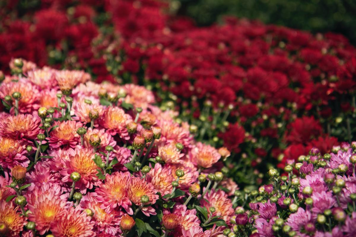 How to Care for Mums in Spring