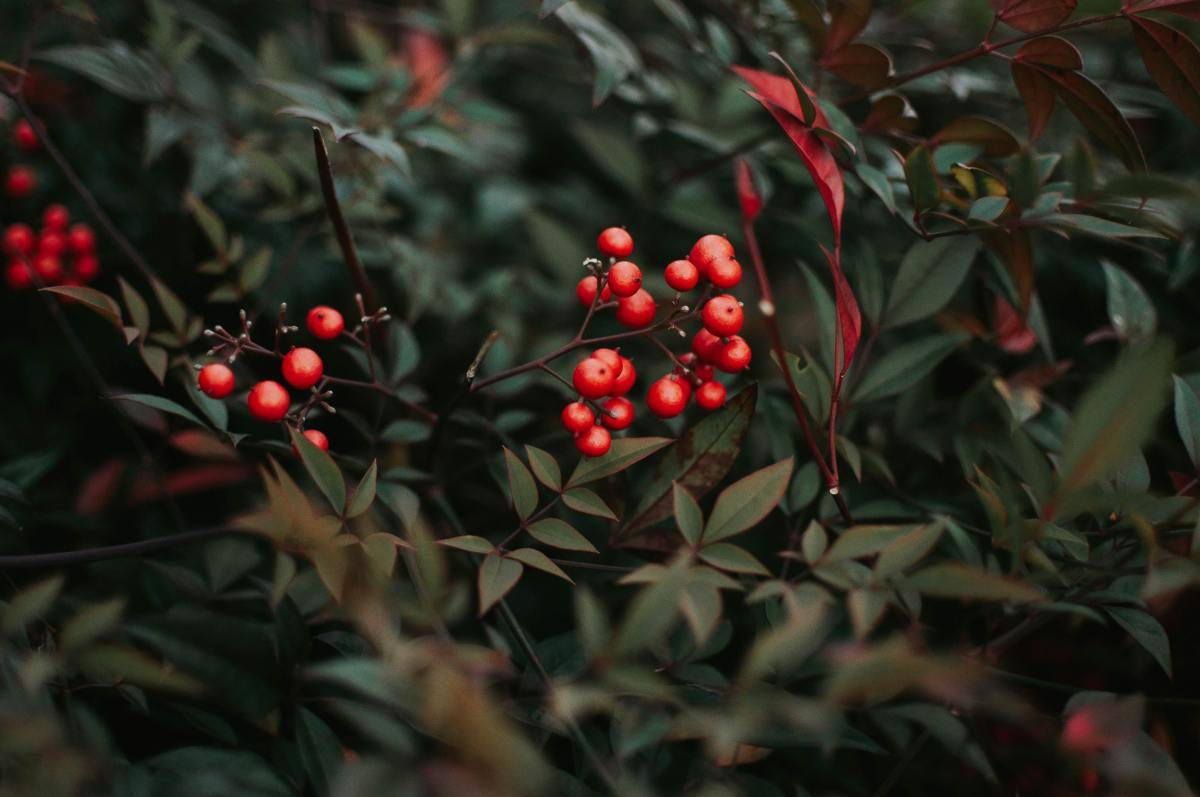 Holly shrubs are a great addition.