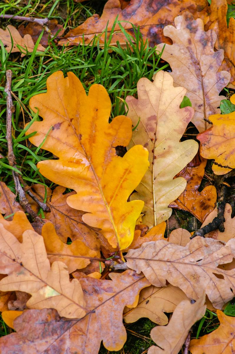 Bright oak leaves in fall are hard to beat.