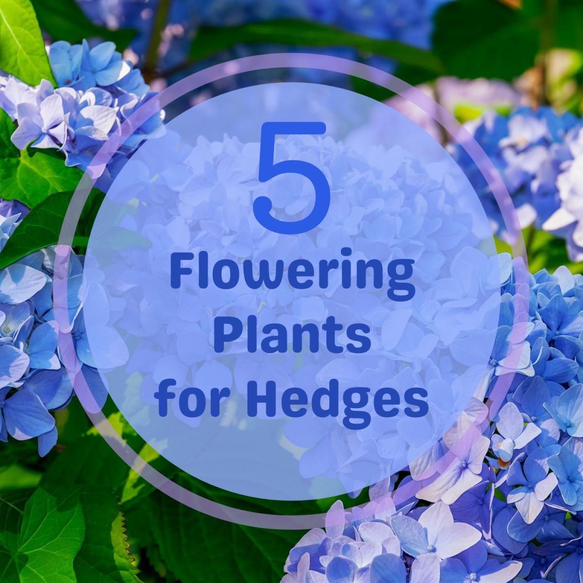 Discover some beautiful, flowering plants that make great ornamental hedges.