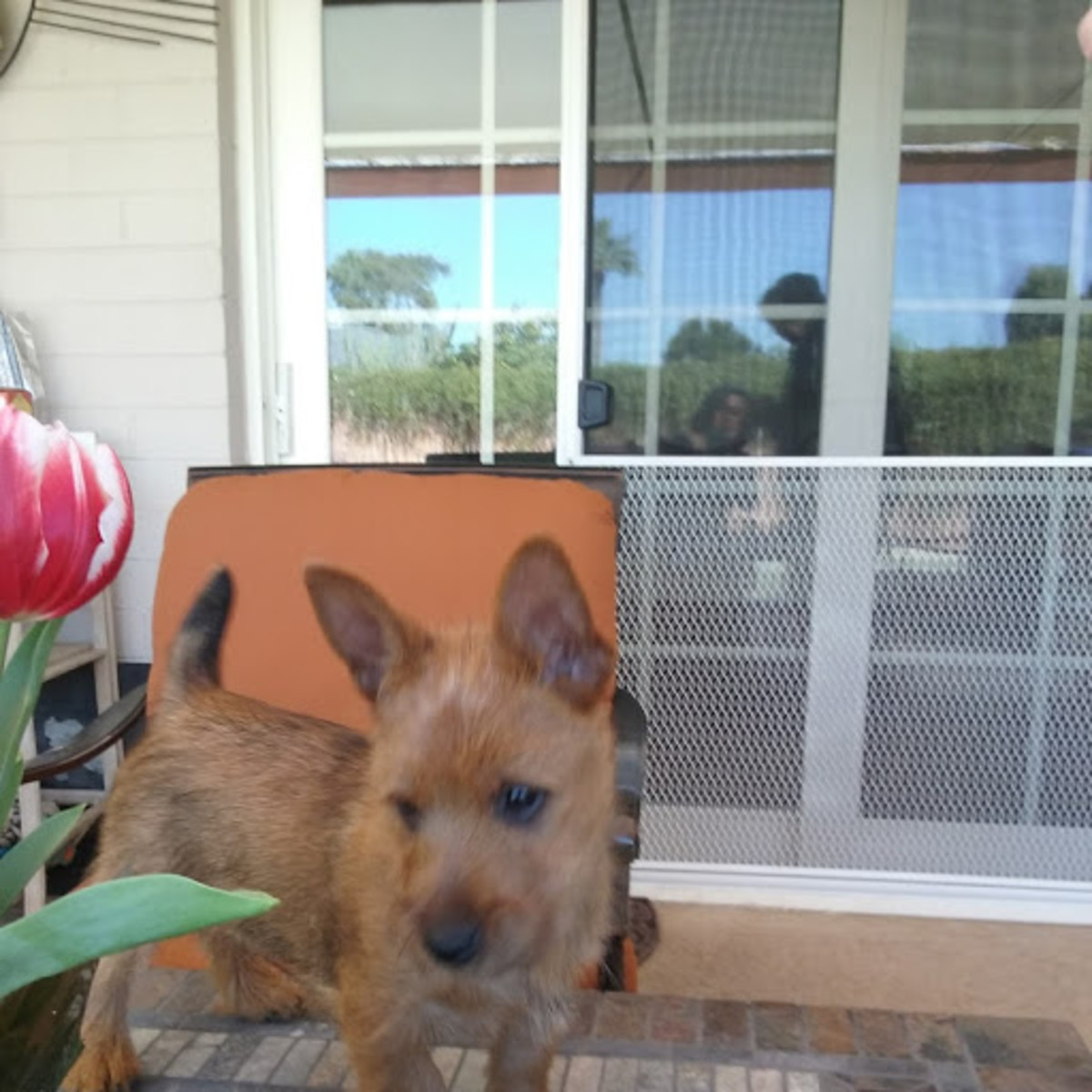 Raising an Australian Terrier - My adventures with Chipper