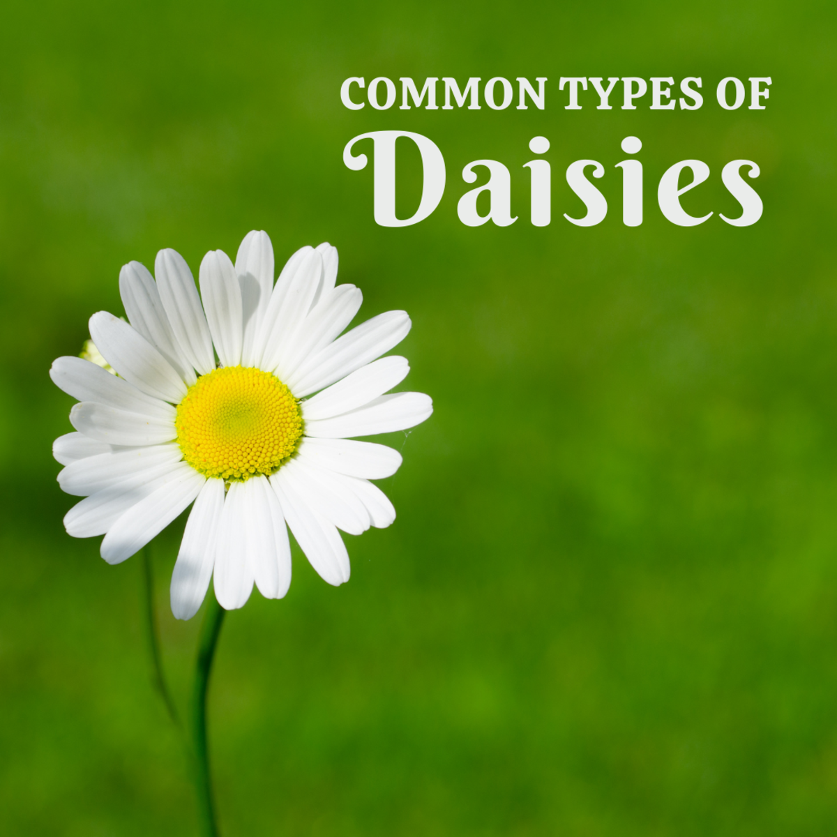 Five Common Types of Daisies