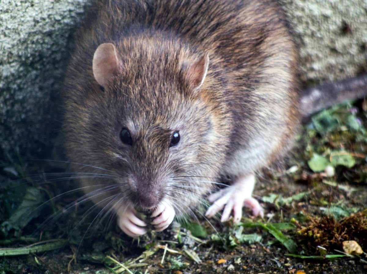 Droppings and urine trails are how rats and mice communicate with each other. What signs of their presence have you seen?