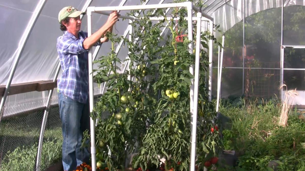 The lean-and-lower trellis system can dramatically increase your tomato plants' yield.