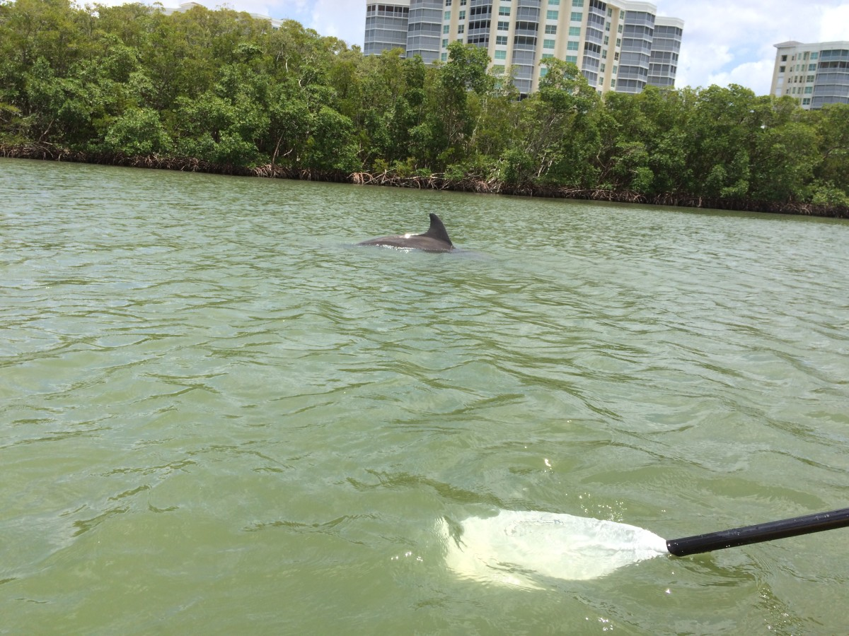 a Bottlenose Dolphin in the SWFL backwater