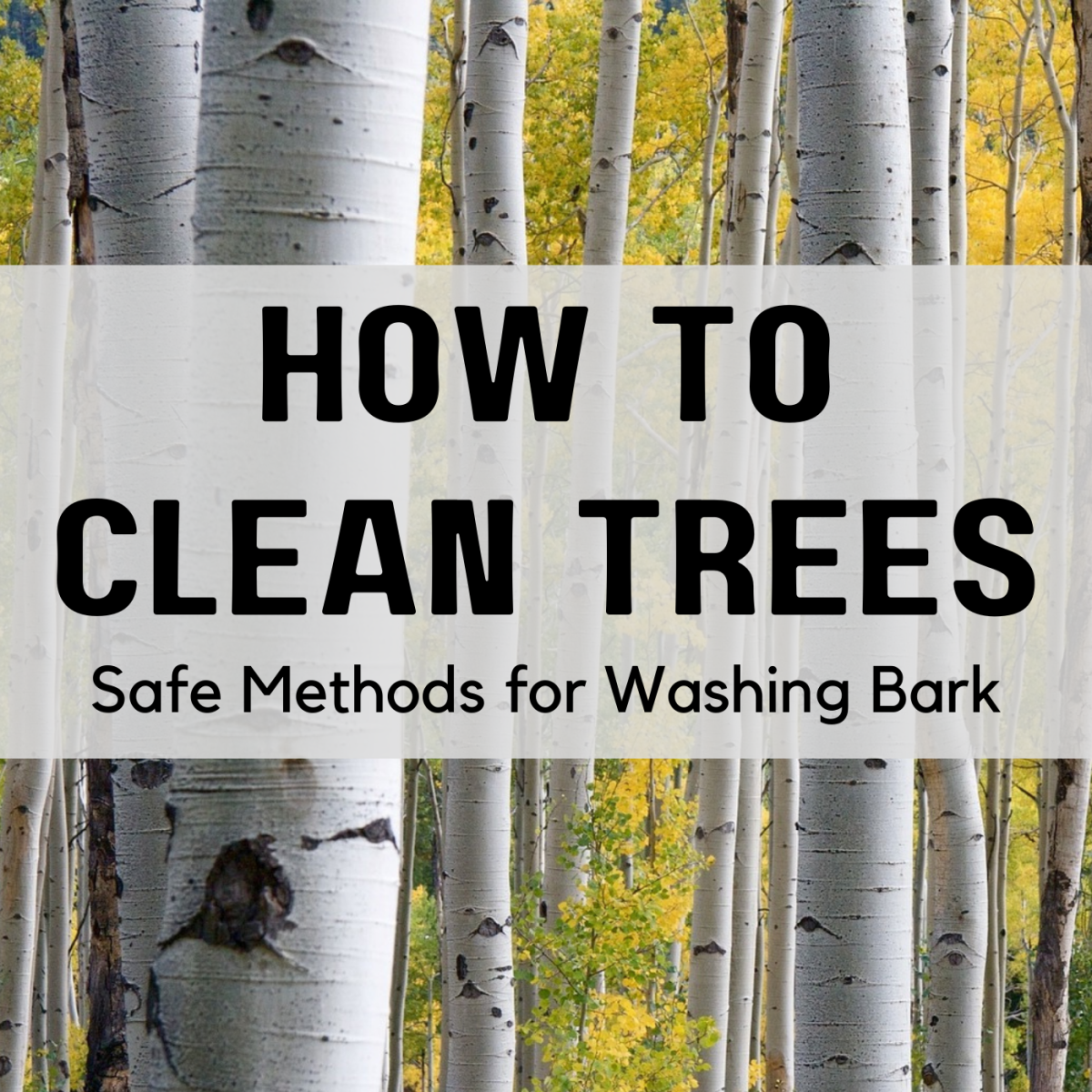 Yes, you can wash the bark of specimen trees like birch. Get advice on how to do it safely.