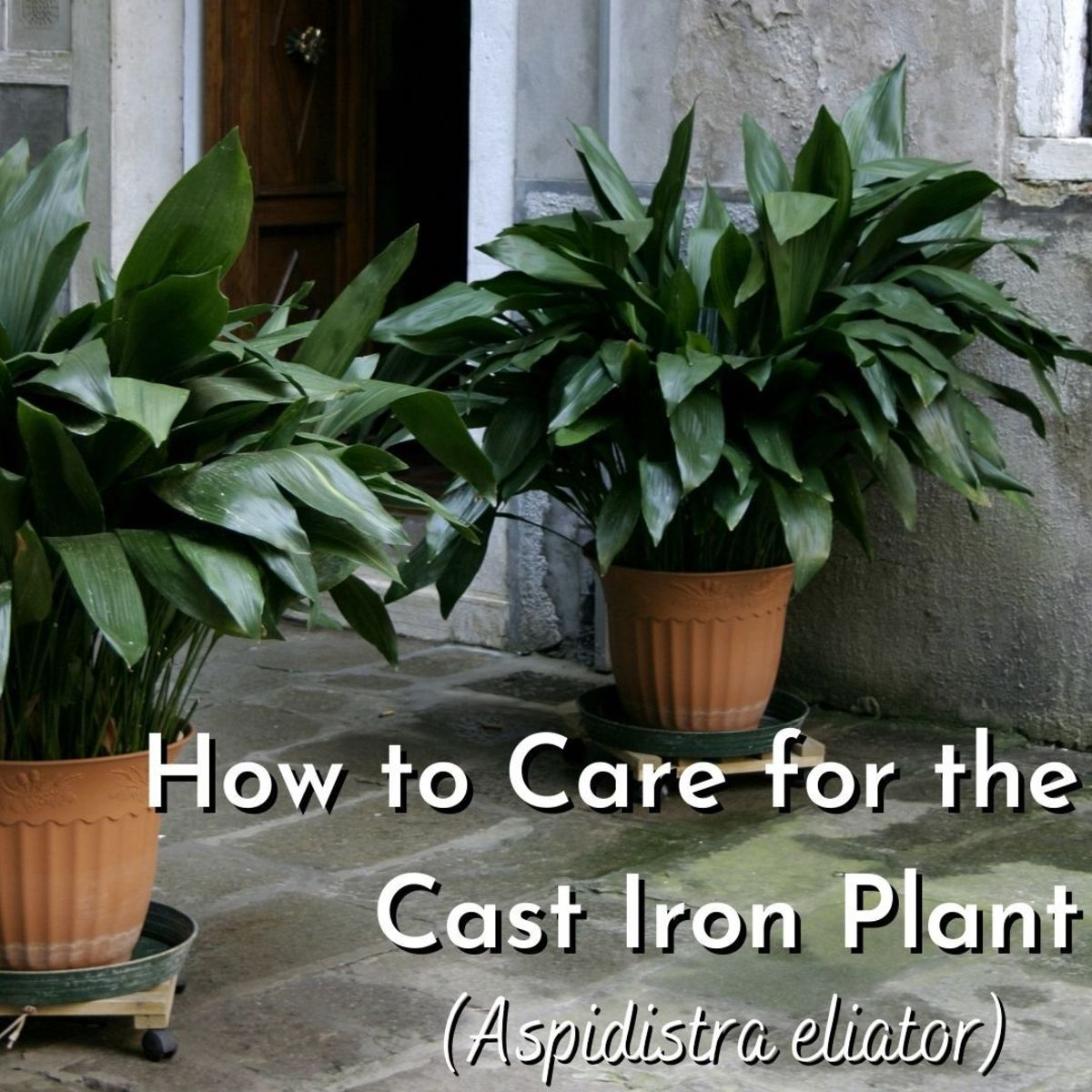 The cast iron plant, or Aspidistra, is typically used as an interior floor plant.