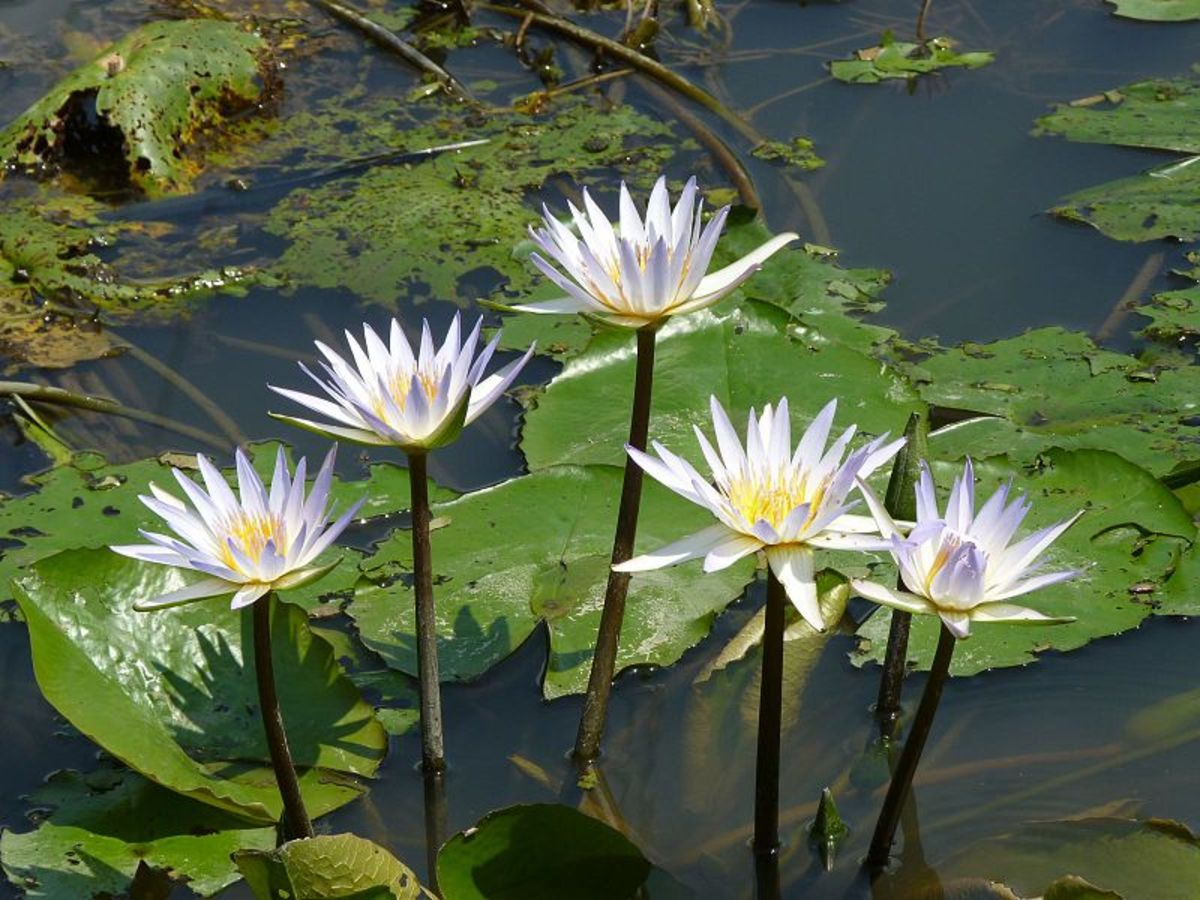 Water Lily, one of the July flowers.