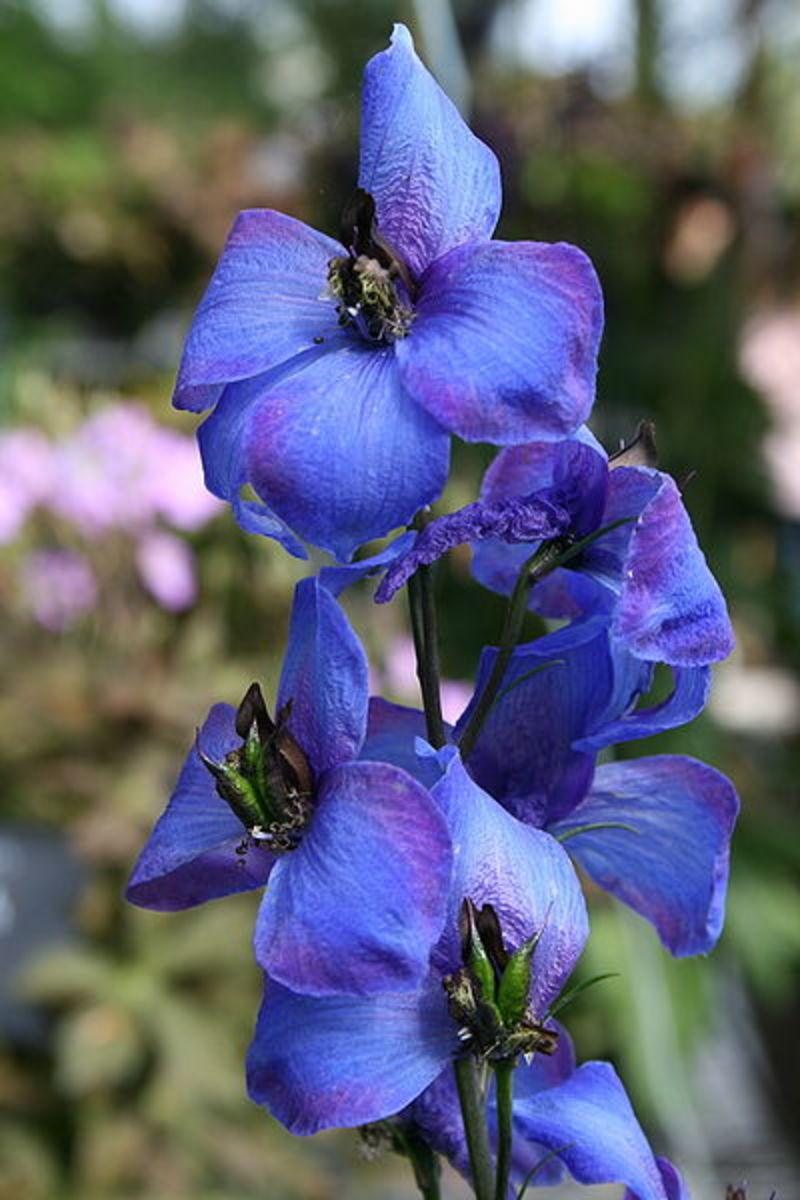 Larkspur, one of the flowers of July