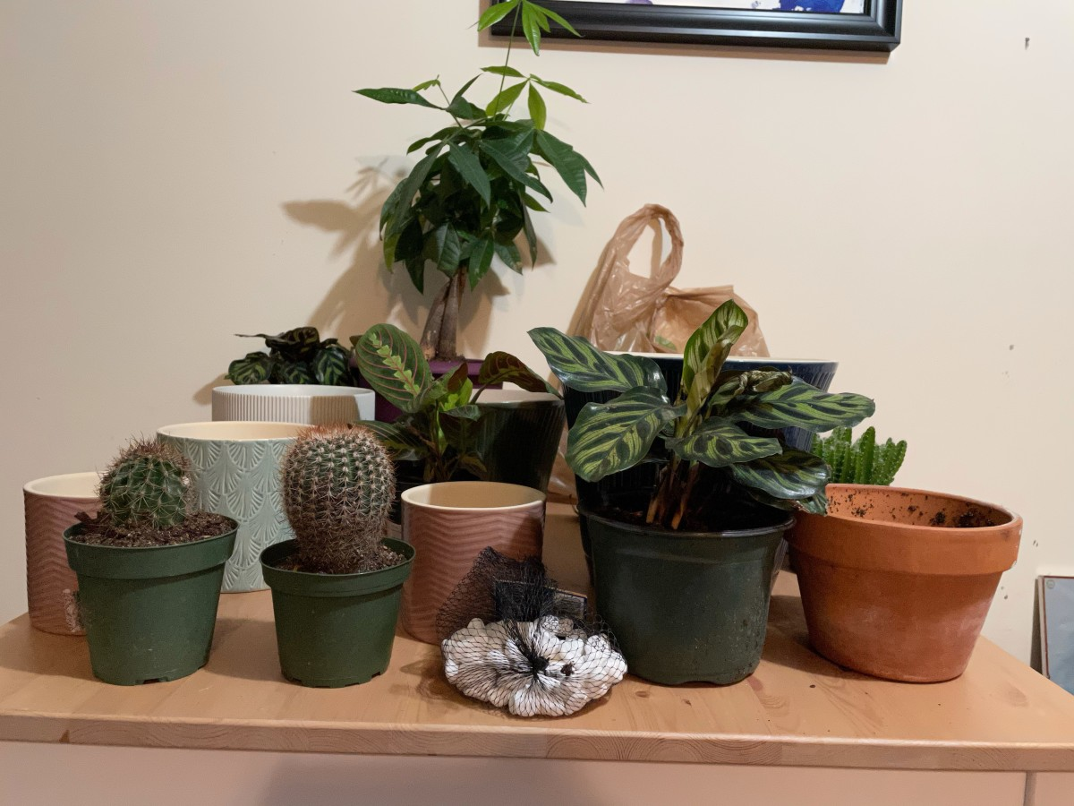 Repotting day is always fun. All the plants on the table are pet safe, which is a good thing since my kitty did indeed get on the table to check things out.