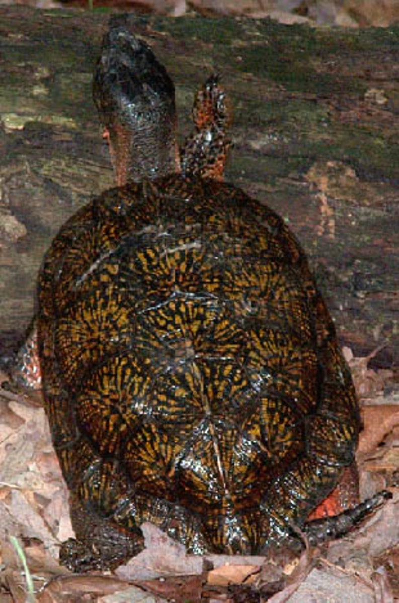 North American Wood Turtles are protected throughout their range requiring a proper state permit in ME, NH, VT, MA, RI, CT, NY, NJ, DE, MD, VA, WV, PA, OH, MI