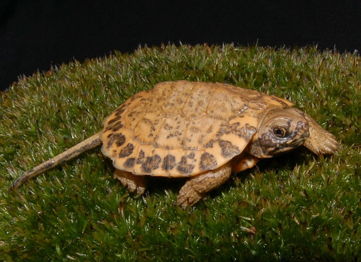 This eye popping turtle hatched from a clutch of 7 eggs on July 10 th 2008. (See next two photos for comparison.)