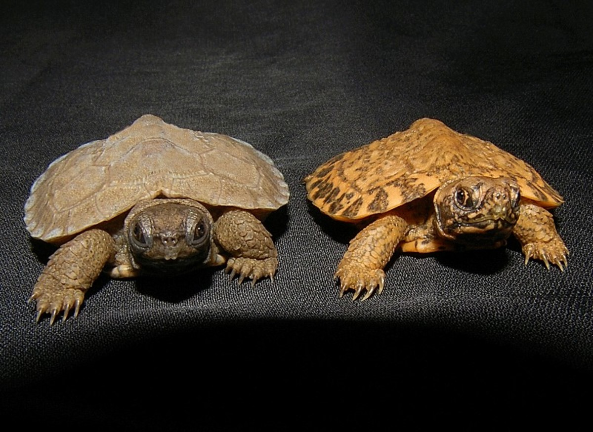 It is a peach color with wild markings on the entire turtle - including the eyes and the tail.