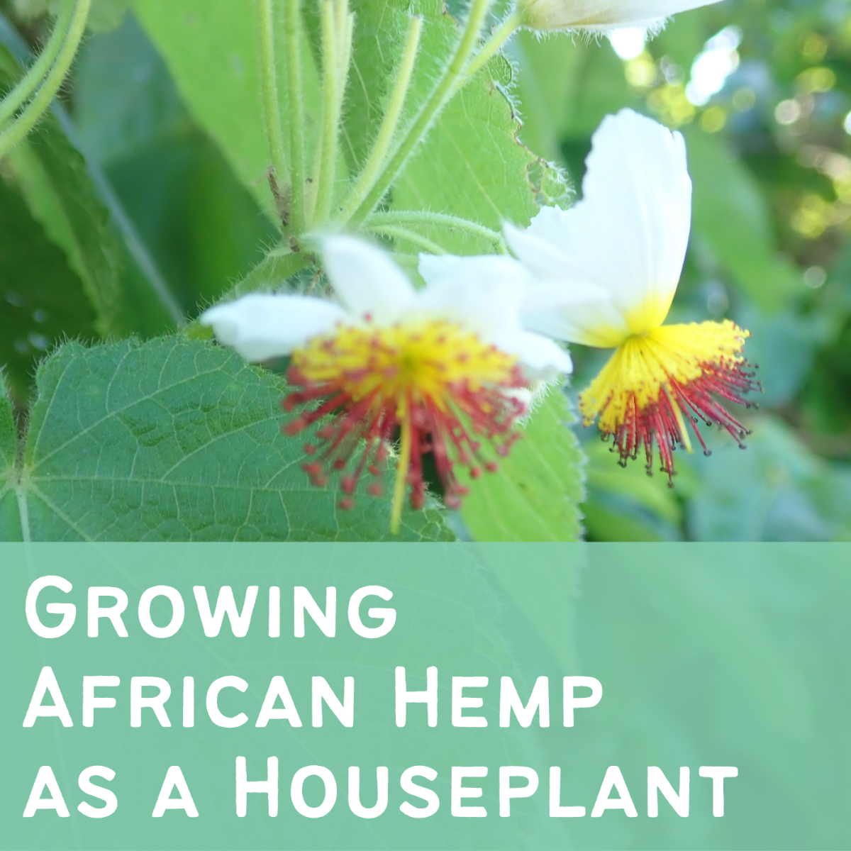 African hemp is a fast-growing houseplant with interesting, colorful blooms. Learn more about growing it in a pot.