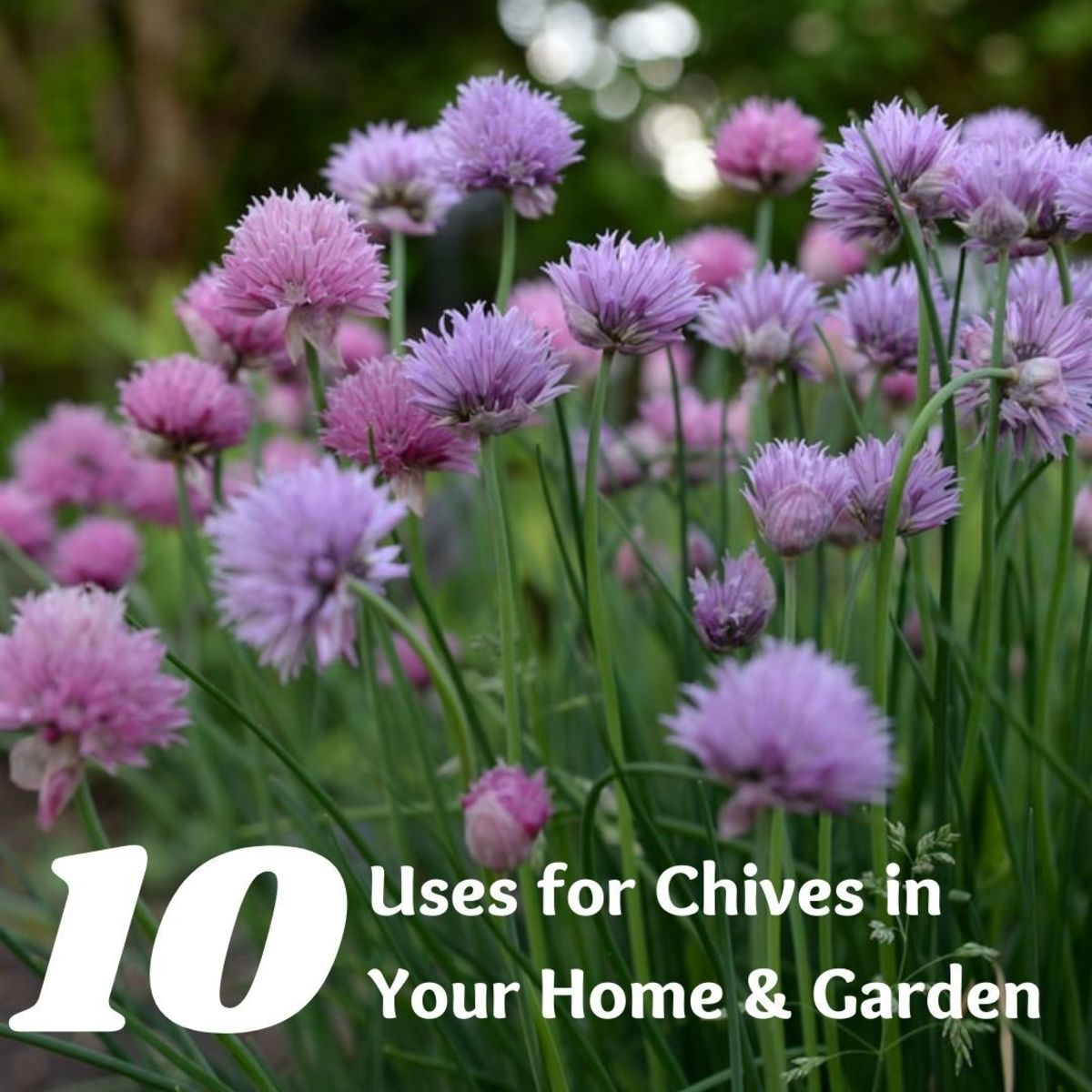 Chives are so versatile that they inspire countless projects and money-making, money-saving adventures.