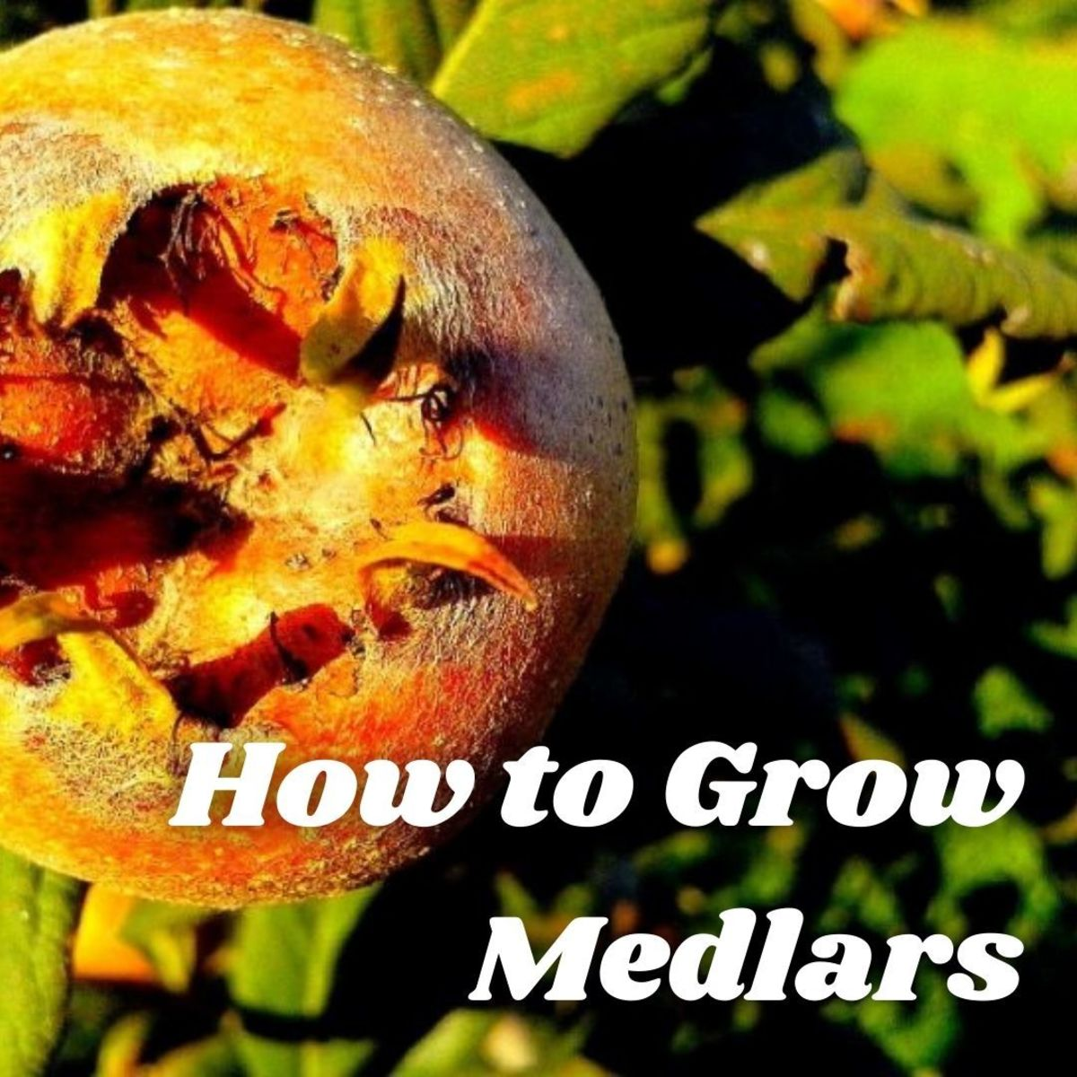Medlars are small trees with attractive flowers and decorative edible fruits which, in taste and texture, resemble apple puree.