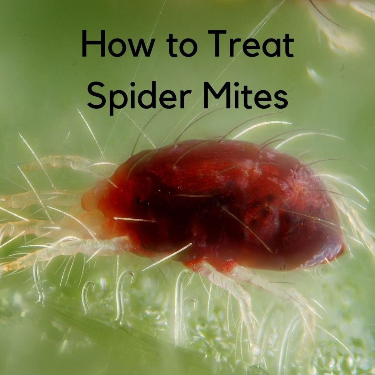 The spider mite is a very tiny insect that has eight legs like a spider and has many of the same characteristics as a spider.