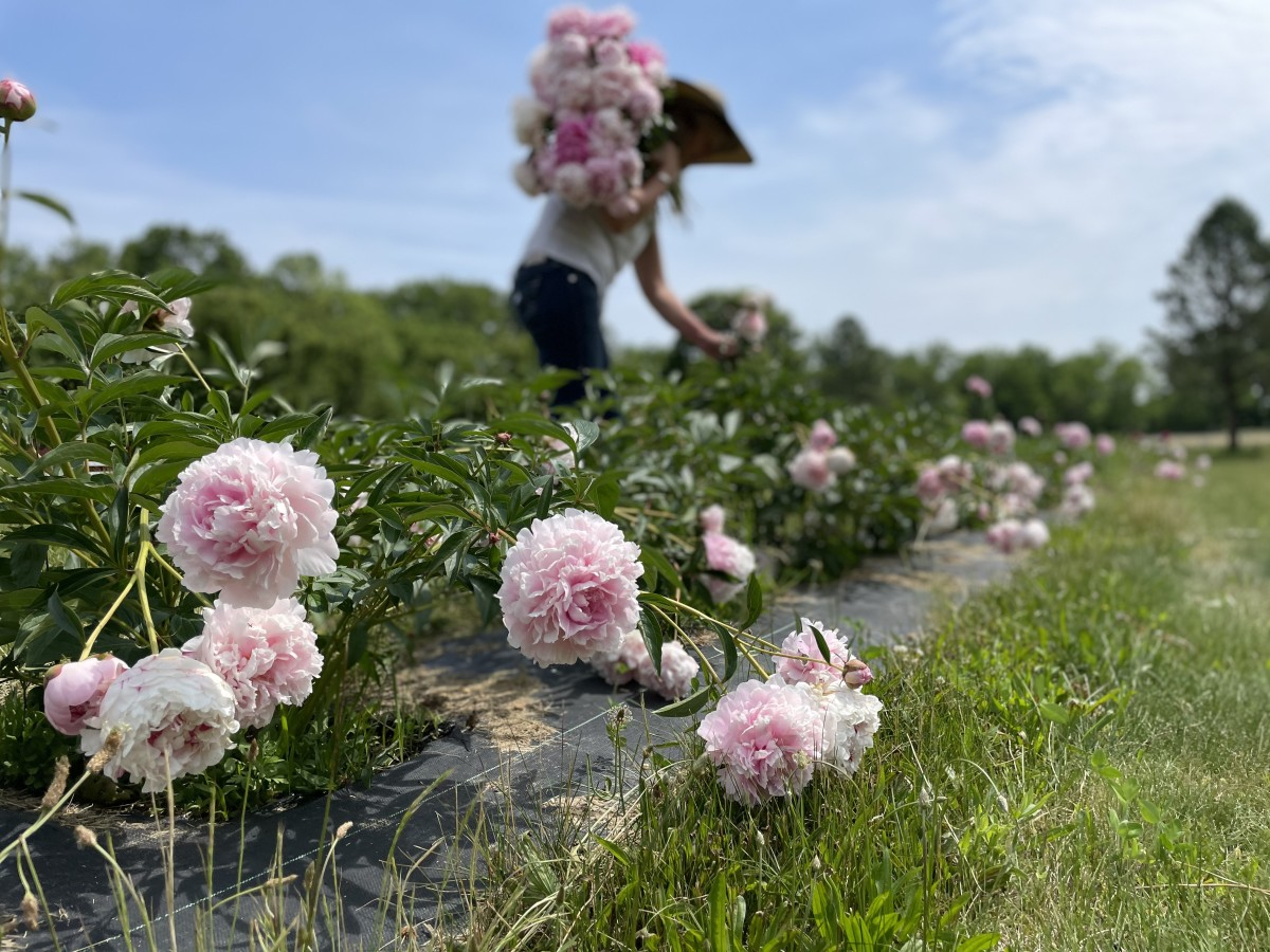 """Ideally, peonies should be harvested while in the """"marshmallow"""" stage."""