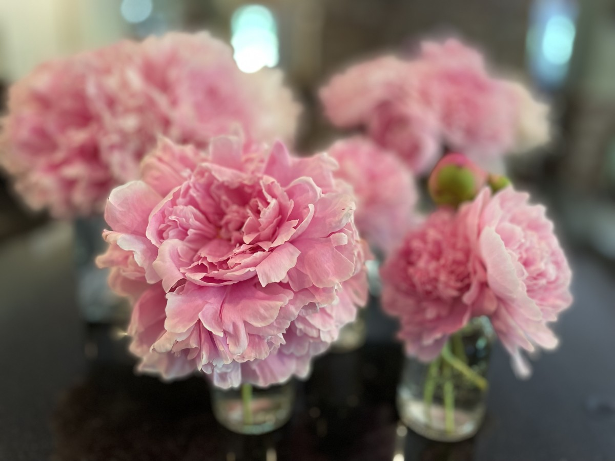 Knowing when and how to cut peony blooms will help them last longer once they're in a vase.
