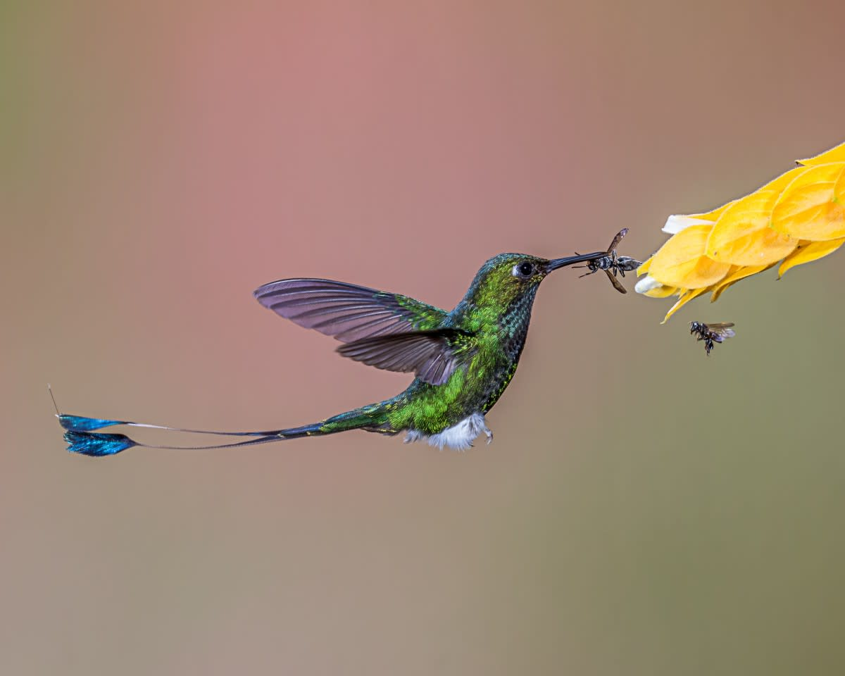 Booted Racket-tail | Image by Andy Morffew under the CC Attribution licence.